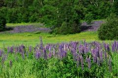 Lupinebloesem op wild berggebied in de lente Stock Afbeeldingen