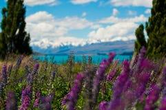 Lupineblommor Royaltyfri Fotografi