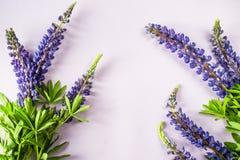 Lupineblumen auf einem farbigen Hintergrund Stockfoto
