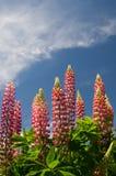 Lupineblumen mit hübschem Himmel Lizenzfreies Stockfoto