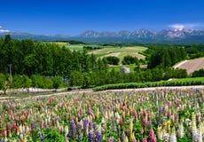 Lupineblumenfeld im Sommer mit Gebirgshintergrund Stockbilder