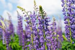 Lupinegebied met purpere en blauwe bloemen Bos van de bloemachtergrond van de lupineszomer Lupinus royalty-vrije stock fotografie
