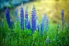 Lupinen, die wild und blühend wachsen Stockfotografie