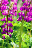 Lupinen-Magenta, fliegend zur Blumenbiene Lizenzfreie Stockfotos