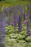 Lupines άνθισης σε ένα πεδίο Στοκ εικόνες με δικαίωμα ελεύθερης χρήσης