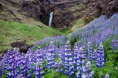 Lupines ανθίσματος από τον καταρράκτη, Ισλανδία στοκ φωτογραφίες