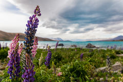 Lupines κοντά σε μια λίμνη Στοκ εικόνες με δικαίωμα ελεύθερης χρήσης