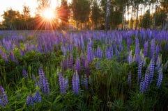 Lupines στο δάσος Στοκ Εικόνες
