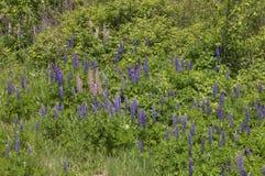 Lupines зацветая в Дулуте Минесоте во время лета стоковые изображения