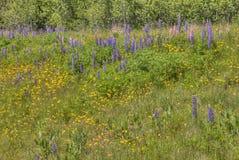 Lupines зацветая в Дулуте Минесоте во время лета стоковое изображение
