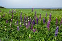 Lupines зацветая в Острове Принца Эдуарда Стоковая Фотография RF