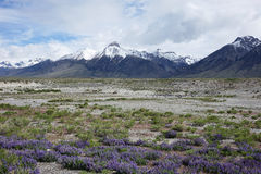 Lupines и Mt McCaleb, Айдахо Стоковое фото RF