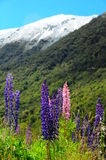 Lupines Новой Зеландии Стоковые Фотографии RF