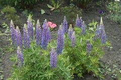 lupines пурпуровые Стоковое Изображение RF