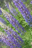 lupines пурпуровые Стоковые Изображения