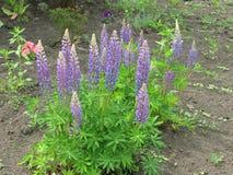 lupines пурпуровые Стоковая Фотография RF