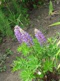 lupines пурпуровые Стоковые Фото