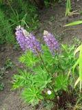 lupines пурпуровые Стоковое Фото