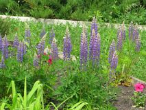lupines пурпуровые Стоковая Фотография