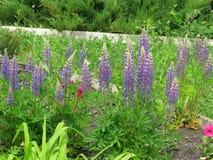 lupines пурпуровые Стоковые Изображения RF