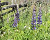 Lupines цветков лета Стоковое Изображение RF