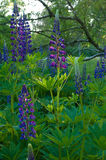 Lupines Stock Image