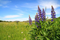 Free Lupines Stock Photo - 17169690
