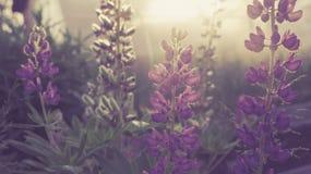 lupines Imagen de archivo libre de regalías