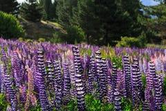 lupines Fotografia de Stock Royalty Free