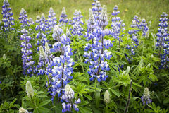 lupines Imagens de Stock Royalty Free