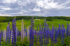 lupines Imagem de Stock Royalty Free