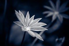 lupines Zdjęcie Royalty Free