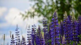lupines Стоковые Изображения