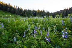 lupines Стоковая Фотография RF