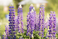 lupines Image stock