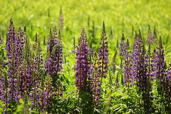 lupines Fotografia Royalty Free