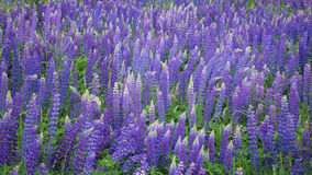 lupines Obrazy Royalty Free