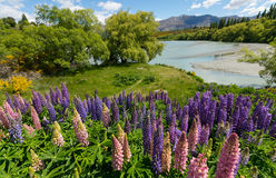 Lupines along Shotover River. View from famous cycling track from Queenstown to Arrowtown passing the Shotover RIver. Otago Region, South Island, New Zealand Royalty Free Stock Photos