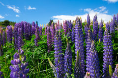 Lupines along Shotover River. View from famous cycling track from Queenstown to Arrowtown passing the Shotover RIver. Otago Region, South Island, New Zealand Stock Photo