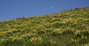 Lupines amarillos Imagen de archivo