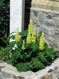 Lupines amarillos Imagen de archivo libre de regalías