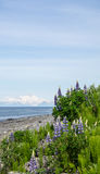 Lupines on the Beach. Lupines bloom in view of a volcano Stock Image