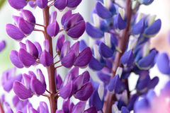 Lupines beautiful flowers on a blurred boreh background Stock Photos