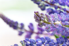 Lupines beautiful flowers on a blurred boreh background Royalty Free Stock Image