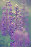 Lupines. Beautiful Lupines and green leafs Stock Images