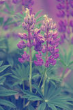 Lupines. Beautiful Lupines and green leafs Royalty Free Stock Photography