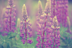 Lupines. Beautiful Lupines and green leafs Stock Image
