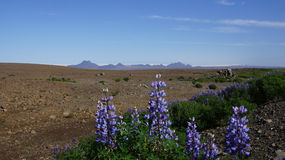 Lupines at begin Kjolur route Royalty Free Stock Image