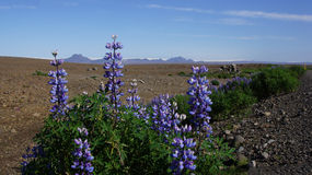 Lupines at beginning Kjolur route Royalty Free Stock Photos