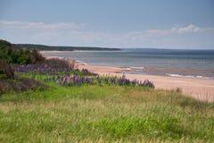 Lupines bij het Strand van Stanhope Stock Foto